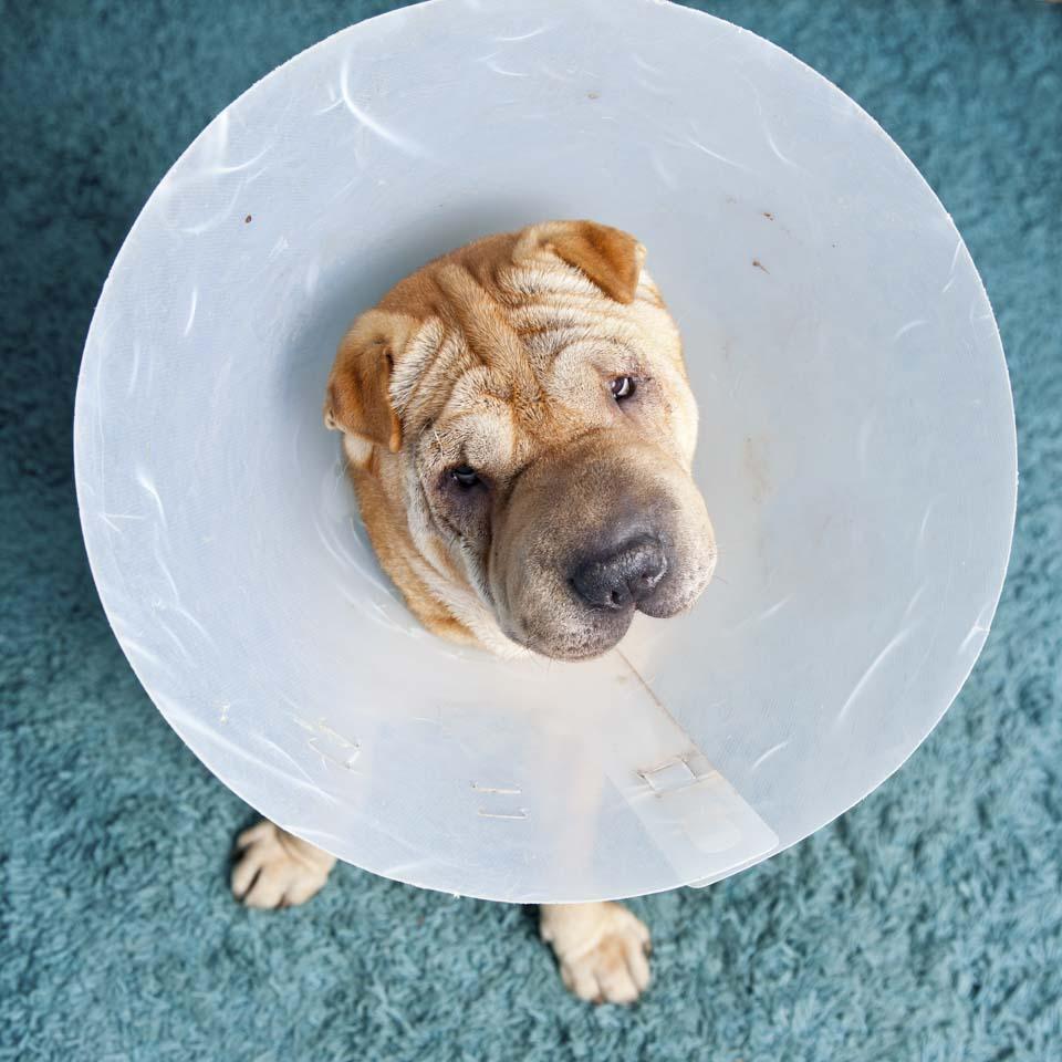 Sharpei Dog Wearing A Protective Veterinary Collar After A Surgical Operation