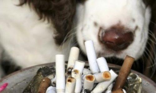 El Humo Del Cigarrillo Afecta A Nuestras Mascotas