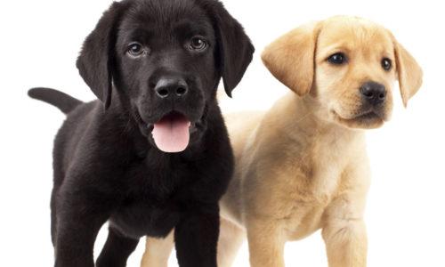 Como Elegir El Mejor Cachorro De La Camada